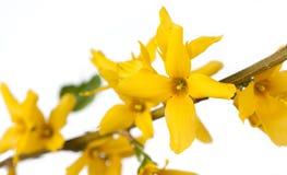 forthysia kolor żółty zdjęcie royalty free