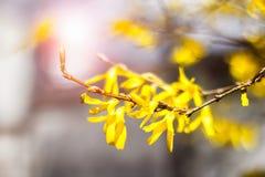 Forthysia kolor żółty kwitnie na zamazanym tle fotografia royalty free