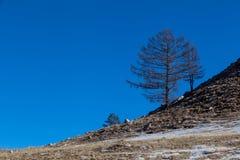 Forti alberi sul pendio della collina sull'isola di Olkhon, Russia immagini stock