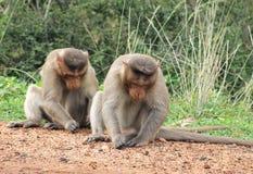 Forti scimmie maschii Fotografie Stock Libere da Diritti