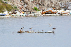Fortlevde fåglar som söker efter mat efter tyfon arkivfoton