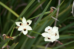Fortnight Lilies. Perennial flower plant bicolor dietes stock photos