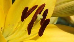 """Fortpflanzungsorgane eines Blume †""""ein Stempel und Staubgefässe stock footage"""