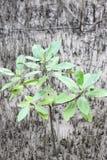 Fortplantat för mangroveträd Royaltyfri Foto
