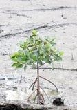Fortplantat för mangroveträd Arkivbild