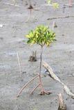 Fortplantat för mangroveträd Fotografering för Bildbyråer