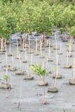 Fortplantat för mangroveträd Royaltyfri Bild