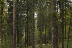 Forêts de pin Images libres de droits