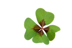Fortune. Four-leaved clover isolated on white Stock Image