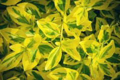 Fortune`s spindle Euonymus fortunei in garden. Detail of emerald golden leaves of wintercreeper.  Close up of yellow and green l Stock Images
