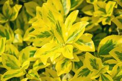 Fortune`s spindle Euonymus fortunei in garden. Detail of emerald golden leaves of wintercreeper.  Close up of yellow and green l Stock Photo