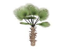 fortunei掌上型计算机trachycarpus风车 皇族释放例证
