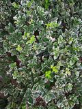Fortunei Emerald Gold d'Euonymus Photos libres de droits