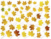Forty five real maple leaves Royalty Free Stock Images