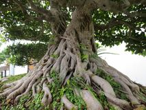 Banyan bonsai. A forty-year-old banyan tree was planted in a basin stock images