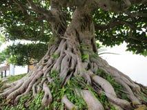 Banyan bonsai stock images
