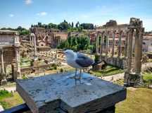 Forum Romanum behind sea gull. Attitudinizing sea gull in front of Forum romanum in Rome Stock Photography