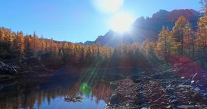 Forward aerial over alpine mountain valley lake and orange larch forest woods in sunny autumn.Alps outdoor colorful stock video