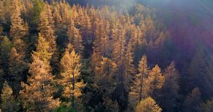 Forward aerial over alpine mountain valley orange and red larch forest woods in sunny autumn.Europe Alps outdoor stock video footage