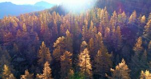 Forward aerial over alpine mountain valley orange and red larch forest woods in sunny autumn.Europe Alps outdoor stock video