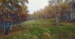 Forward aerial top view over colorful autumn birch forest in foggy weather.Fall orange,green,yellow red tree woods stock footage