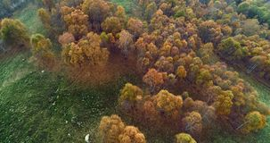 Forward aerial top view over colorful autumn birch forest in foggy weather.Fall orange,green,yellow red tree woods. Mountain fog establisher.4k drone flight stock video footage