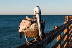 Forward-Facing Bruine Pelikaan van Californië op Oceanside-Pijler royalty-vrije stock foto's