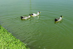 Forward movement of ducks Stock Photos