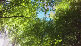 Forward pov walking in wild woods looking up the trees and leaves. hiking or trekking adventure in outdoors green nature. Forest with filtering sun light in stock footage