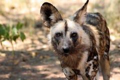 Forwared смотреть на дикой собаки Стоковое Фото