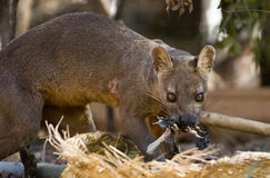 Fosa. Or Fossa (Cryptoprocta ferox). Endangered and endemic to Madagascar. Kirindy Forest, Kirindy, Madagascar Royalty Free Stock Image