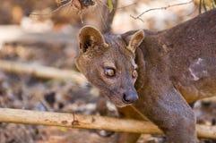 Fosa. Or Fossa (Cryptoprocta ferox). Endangered and endemic to Madagascar. Kirindy Forest, Kirindy, Madagascar Stock Photos