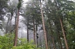 Foschia attraverso gli alberi di pino Fotografia Stock