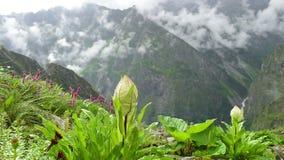 Foschia del prato della montagna dei Wildflowers (obvallata del Saussurea) archivi video