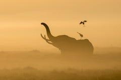 Foschia dell'elefante africano di mattina ad alba in Amboseli, KEN Immagine Stock