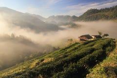 Foschia della piantagione di tè Fotografie Stock Libere da Diritti