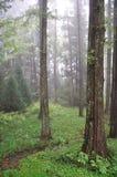 Foschia nella foresta Fotografia Stock