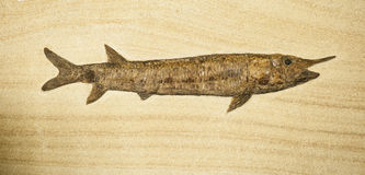 Fosil of fish with long body Royalty Free Stock Photos
