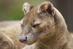 Fossa Photo stock