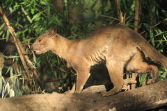 Fossa Stock Photography