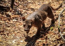 Fossa roaming for food, Kirindy Forest, Morondava, Madagascar. The fossa is a cat-like, carnivorous mammal endemic to Madagascar.The fossa is the largest Stock Photos