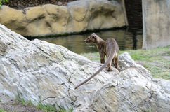 Fossa Stock Photos