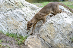 Fossa Royalty Free Stock Image