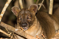 Fossa close up Royalty Free Stock Images