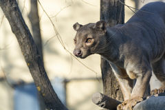 Fossa (Cryptoprocta ferox) Stock Photo