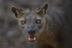 Fossa - Cryptoprocta ferox, Kirindi forest, Madagascar stock photo