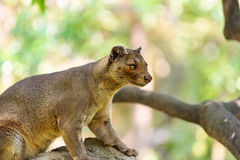 Fossa (Cryptoprocta Ferox) In Madagascar. Fossa (Cryptoprocta Ferox) Cat In Madagascar Stock Photo