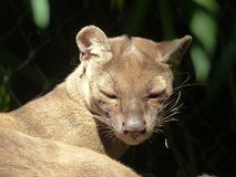 A fossa in an enclosure Royalty Free Stock Photography