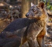 Fossa Royalty Free Stock Photography