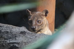 Fossa Stock Photo